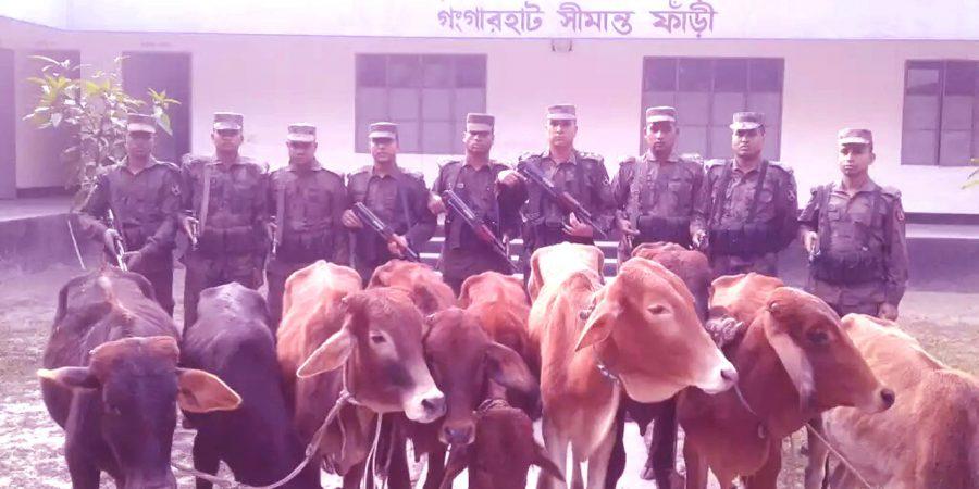 kurigram-indian-cattle-photo-28-11-16