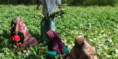 kurigram-sweet-potato-photo-2-16-11-16